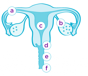 Anatomie weibliche Fortpflanzungsorgane