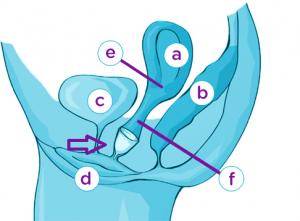 Innere Anatomie weibliche Geschlechtsorgane